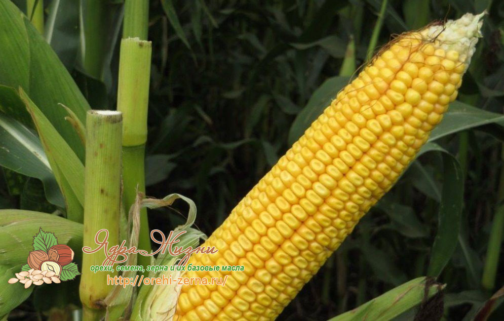 Полузубовидная кукуруза