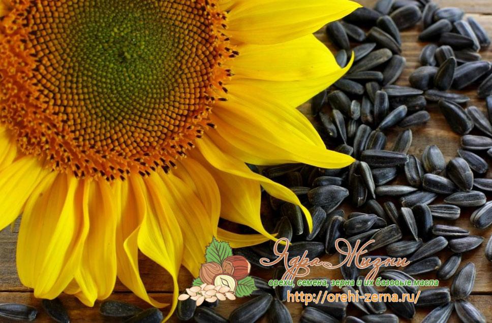 Семена подсолнечника польза и вред