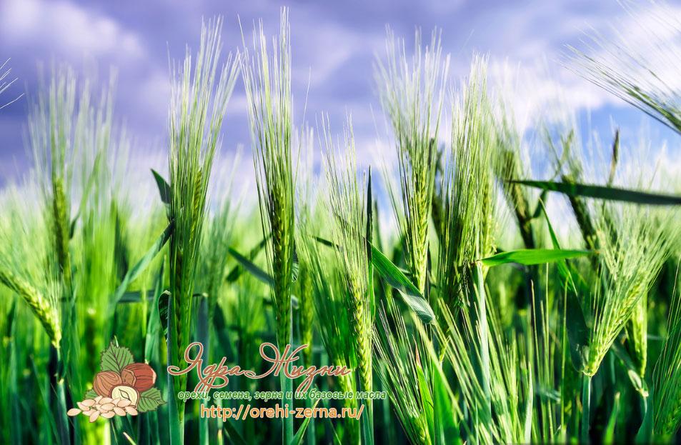 Посадка ржи в поле