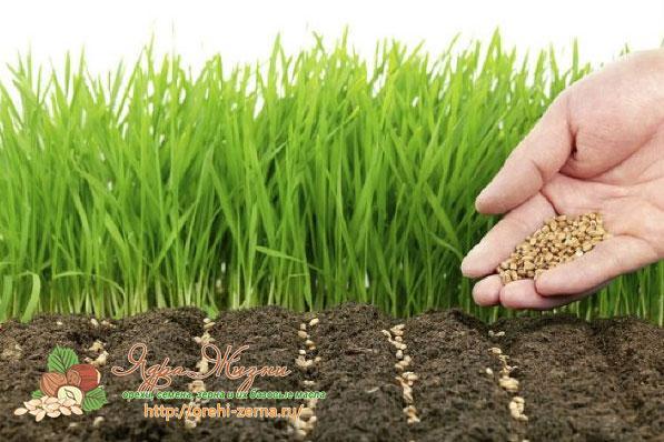 Рожь как удобрение почвы для огорода