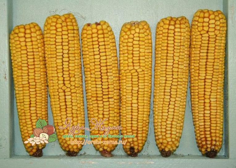 Зубовидная кукуруза сорт