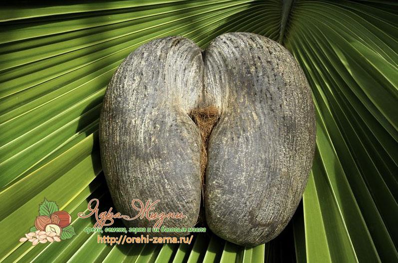 Женский сейшельский орех