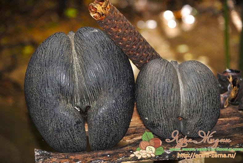 Сейшельский орех
