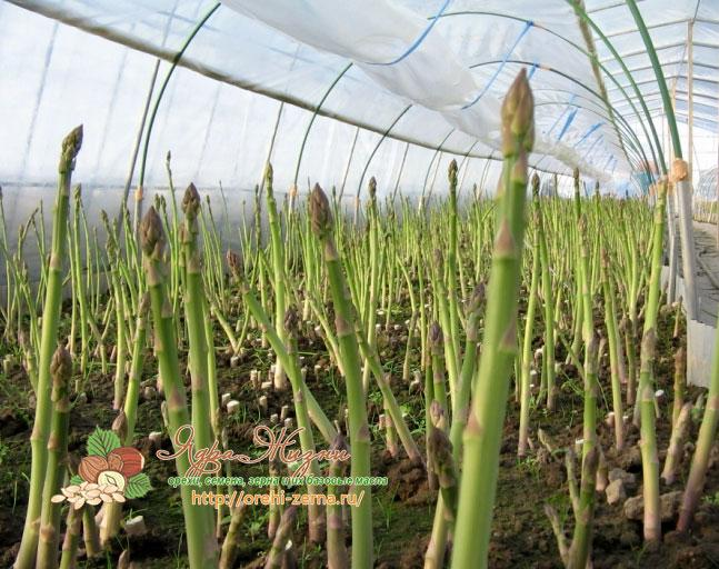 Спаржевая фасоль выращивание в теплице
