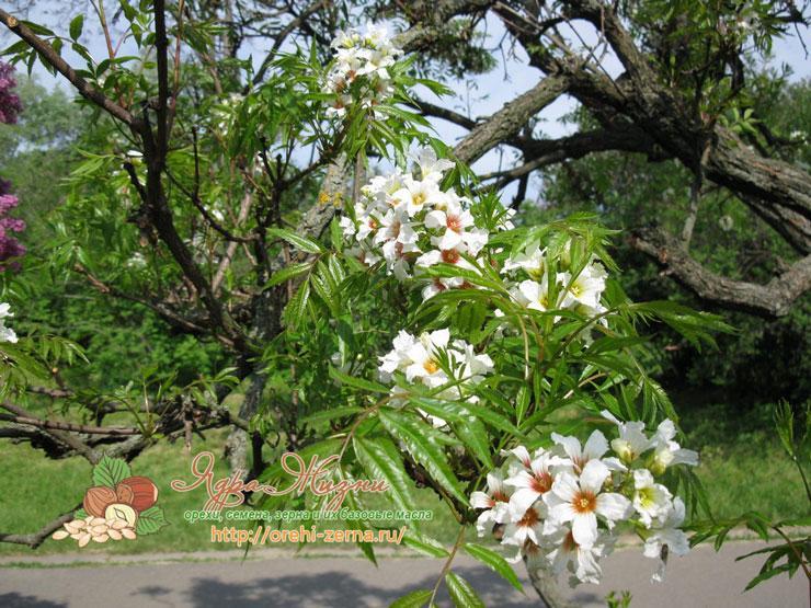 Выращивание чекалкиного ореха