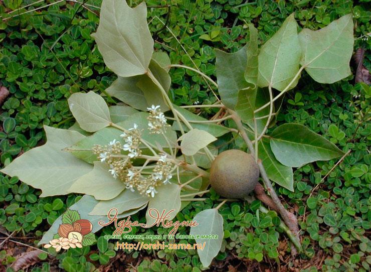 Полезные и лечебные свойства ореха кукуи