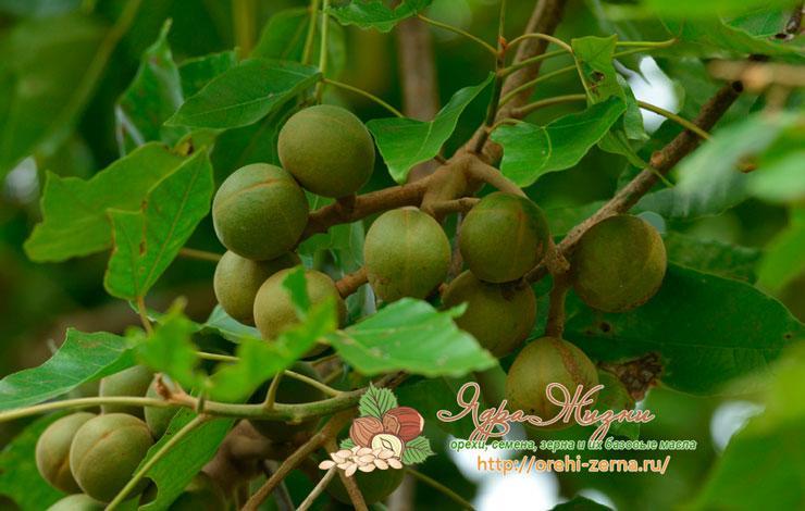 Как растет орех кукуи на дереве