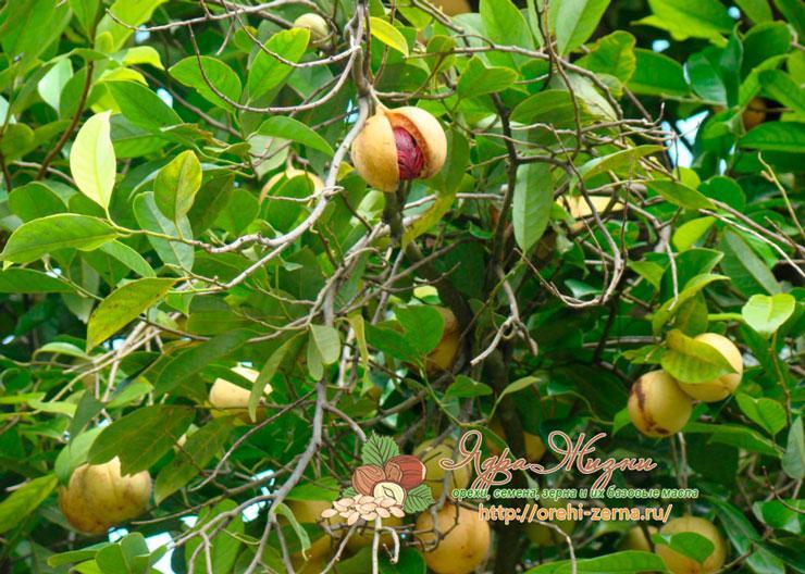 Мускатный орех: дерево