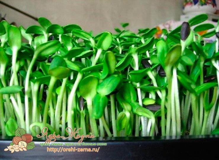 Как правильно проращивать семена подсолнуха