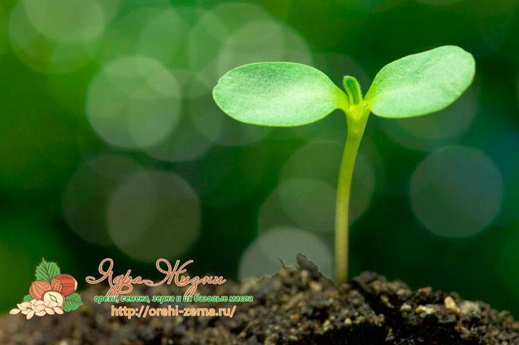 Орехи, семена и зерна в огороде