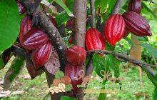 интересные факты о какао или шоколадном дереве