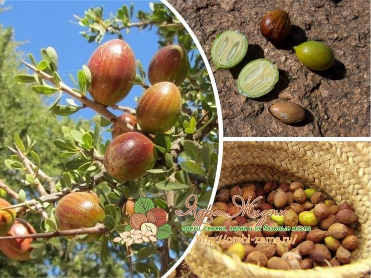 плоды аргании