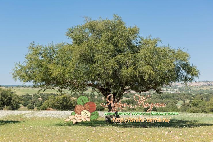 Аргания дерево