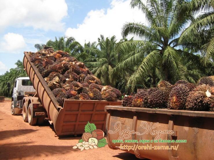 пальмовое масло из чего производят
