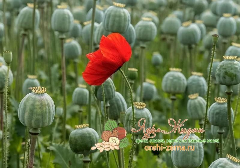 Маковые семена польза