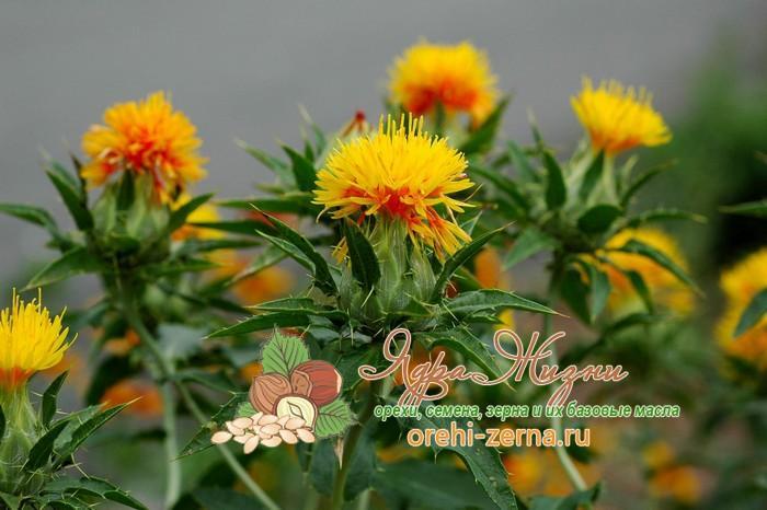 Сафлоровые семена