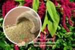 Миниатюра к статье Выращивание амаранта из семян и рассады в помощь садоводам