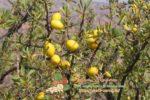 Миниатюра к статье Аргания — где и как растет дерево северной Африки, применение плодов и как вырастить в домашних условиях