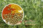 Миниатюра к статье Как посадить и вырастить чечевицу на дачном участке или в огороде — технология и способы выращивания