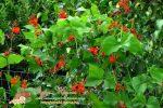 Миниатюра к статье Выращивание декоративной фасоли — все особенности посадки и ухода в домашних условиях