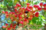 Миниатюра к статье Где и как растет фисташковое дерево — посадка и уход в домашних условиях