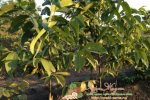 Миниатюра к статье Все о дереве грецкого ореха — сорта, посадка и уход, урожайность и болезни
