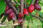 Миниатюра к статье Как и где растет шоколадное дерево какао — интересные факты для детей и взрослых