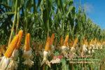 Миниатюра к статье Как и где растет кукуруза и ее производство в России и других странах мира: страны экспортеры