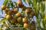Миниатюра к статье Чем особенно мыльное ореховое дерево и как оно растет