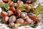 Миниатюра к статье Как вырастить фундук из ореха в домашних условиях