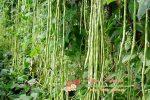 Миниатюра к статье Как посадить стручковую (спаржевую) фасоль и выращивание в открытый грунт в огороде или на даче